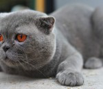 Deakin-blogs-img-scottish-fold-cat-auction-sells-champion-car-accident2